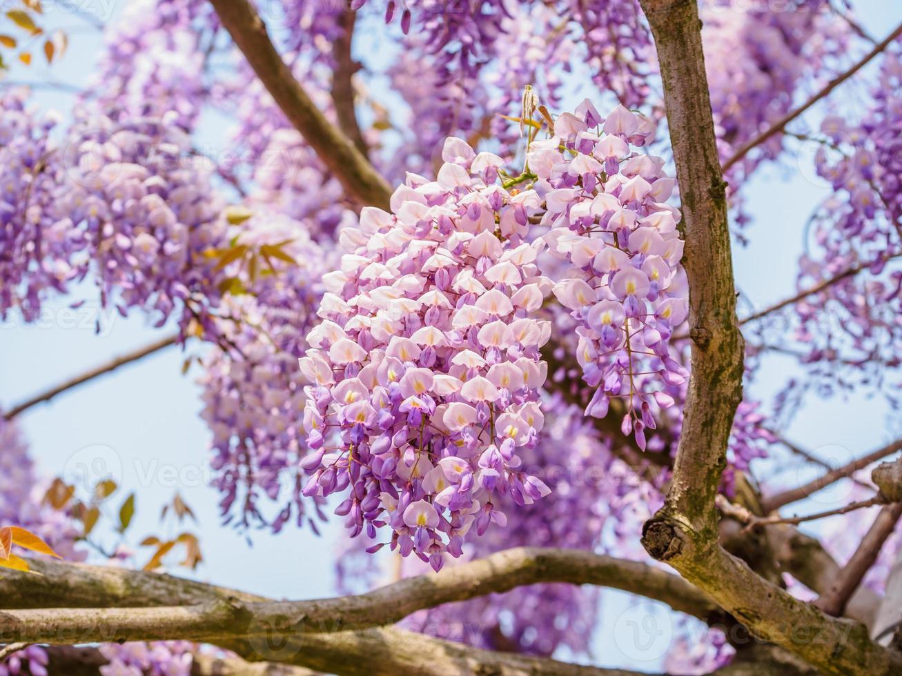 serie di fiori primaverili, glicine viola foto