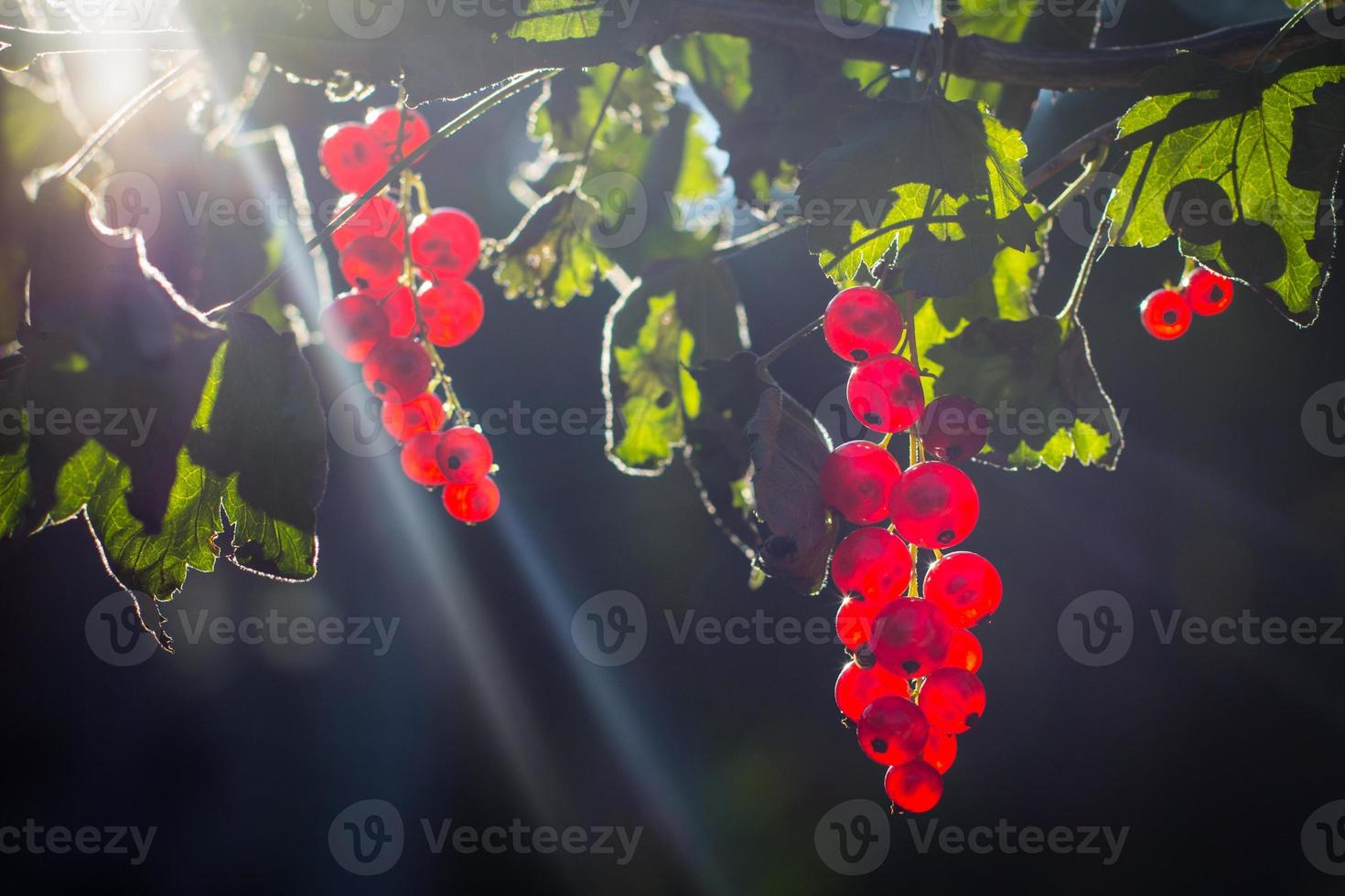 frutti di ribes rosso al sole foto