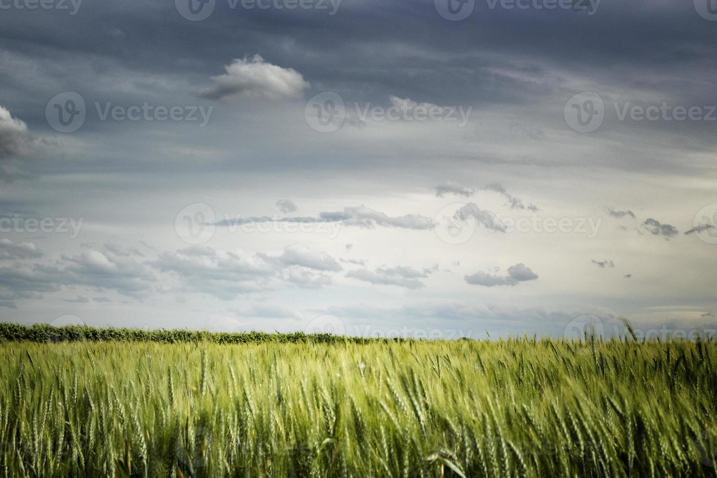 campi di grano nella campagna italiana foto