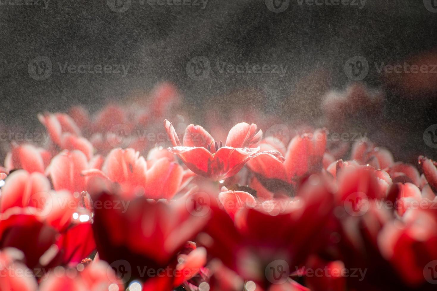 il fiore del tulipano che sboccia foto