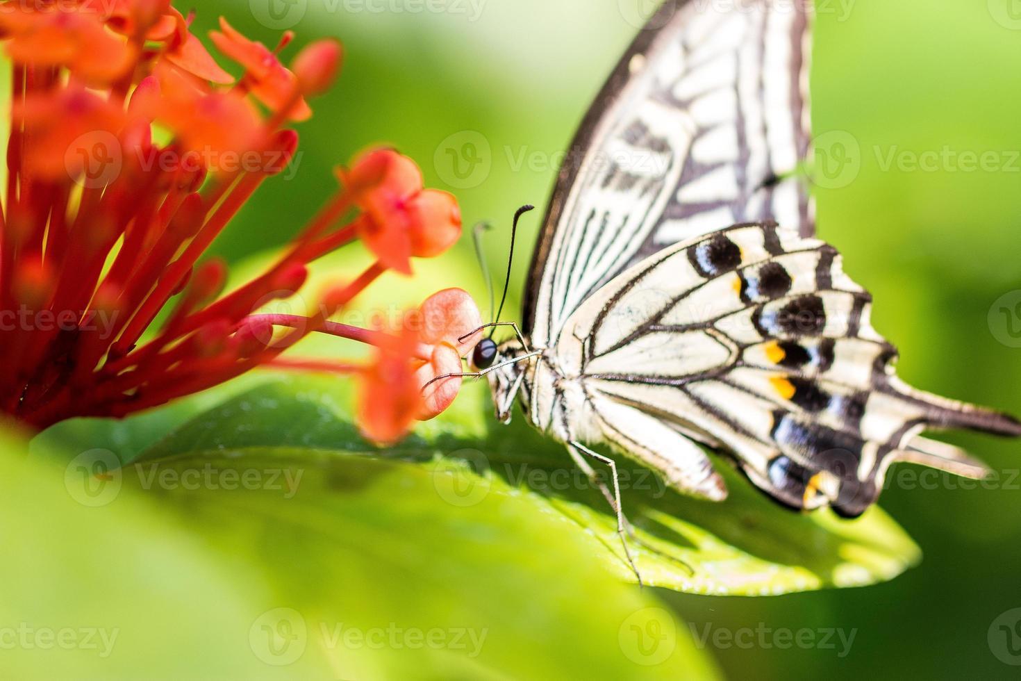 farfalla di coda forcuta foto
