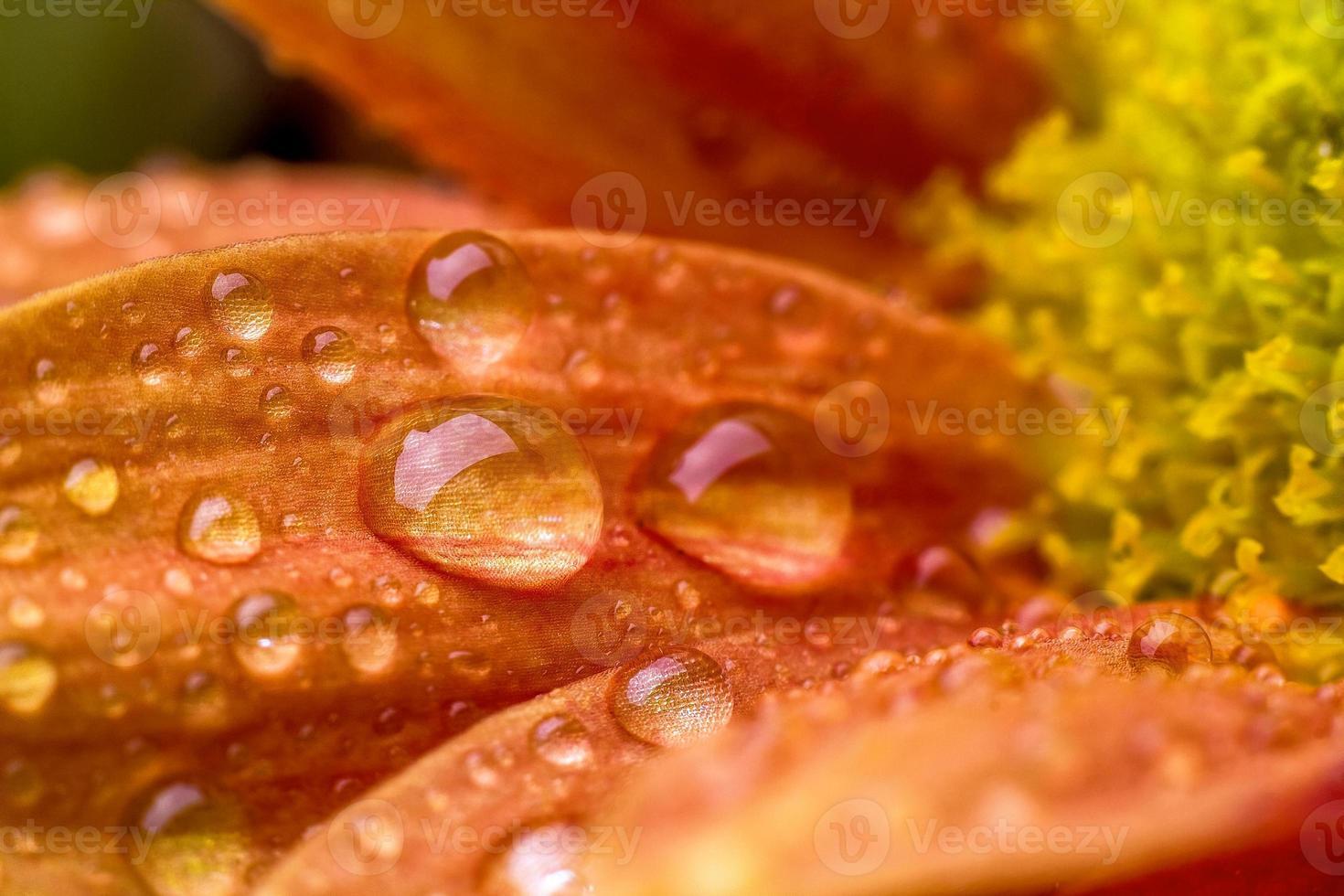 gocce sul fiore foto