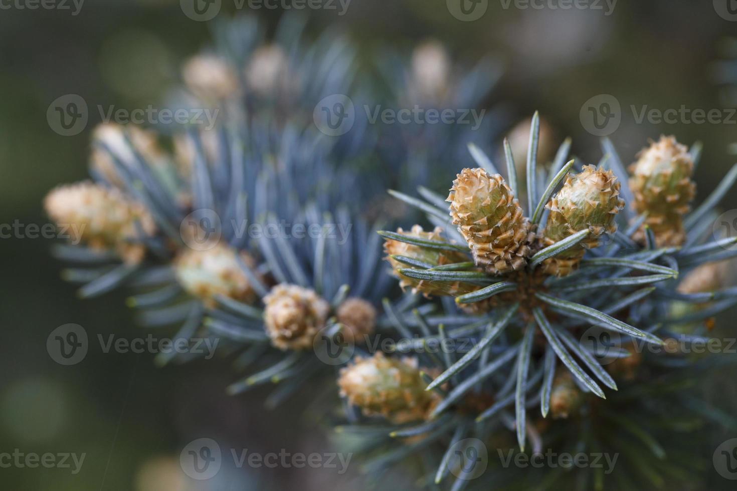 bellissime gemme di conifere foto