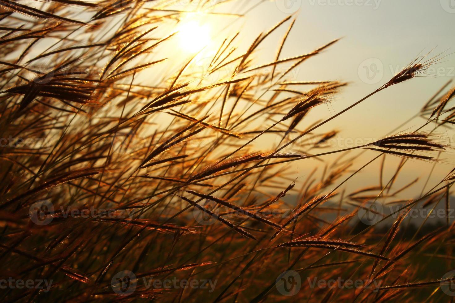 ondeggiando l'erba con lo sfondo del cielo al tramonto foto