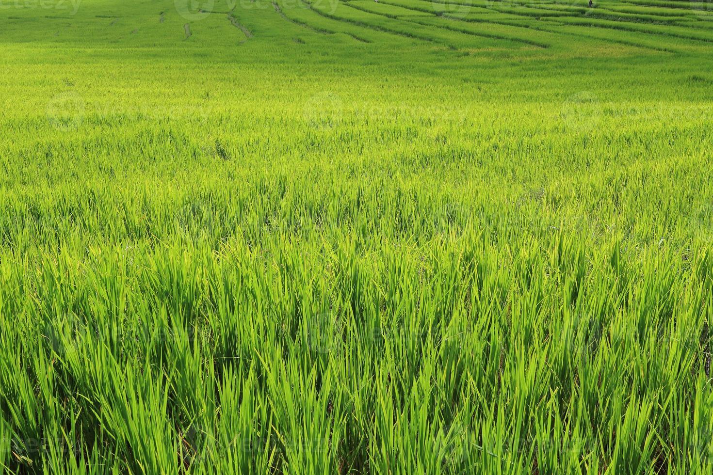 terrazza campi di riso verdi della stagione agricola foto