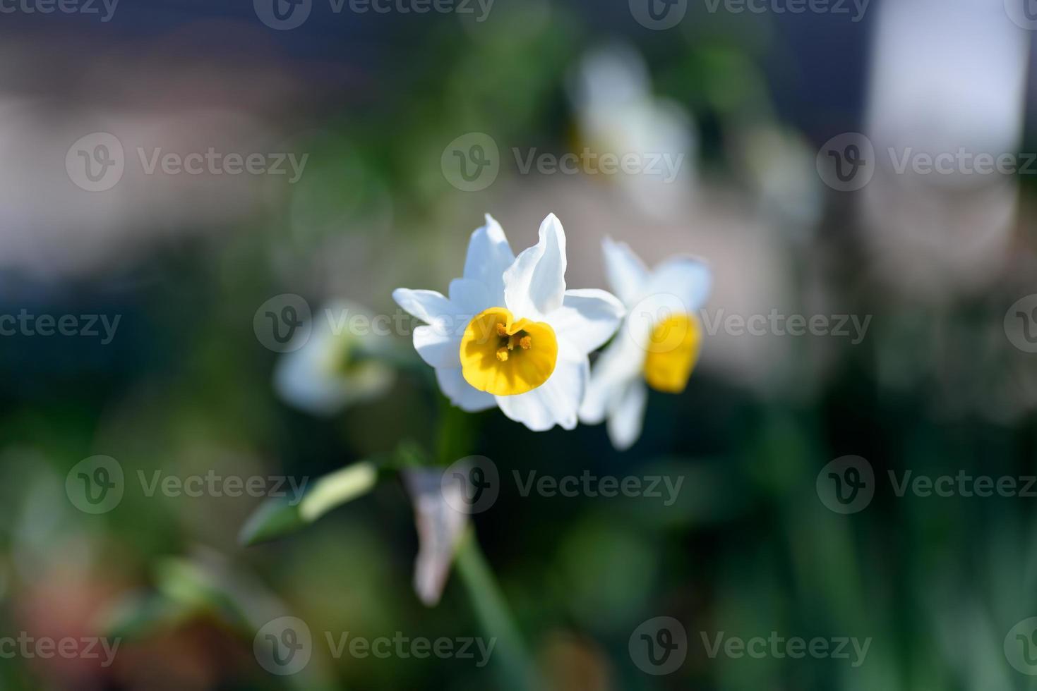 narciso bianco. foto