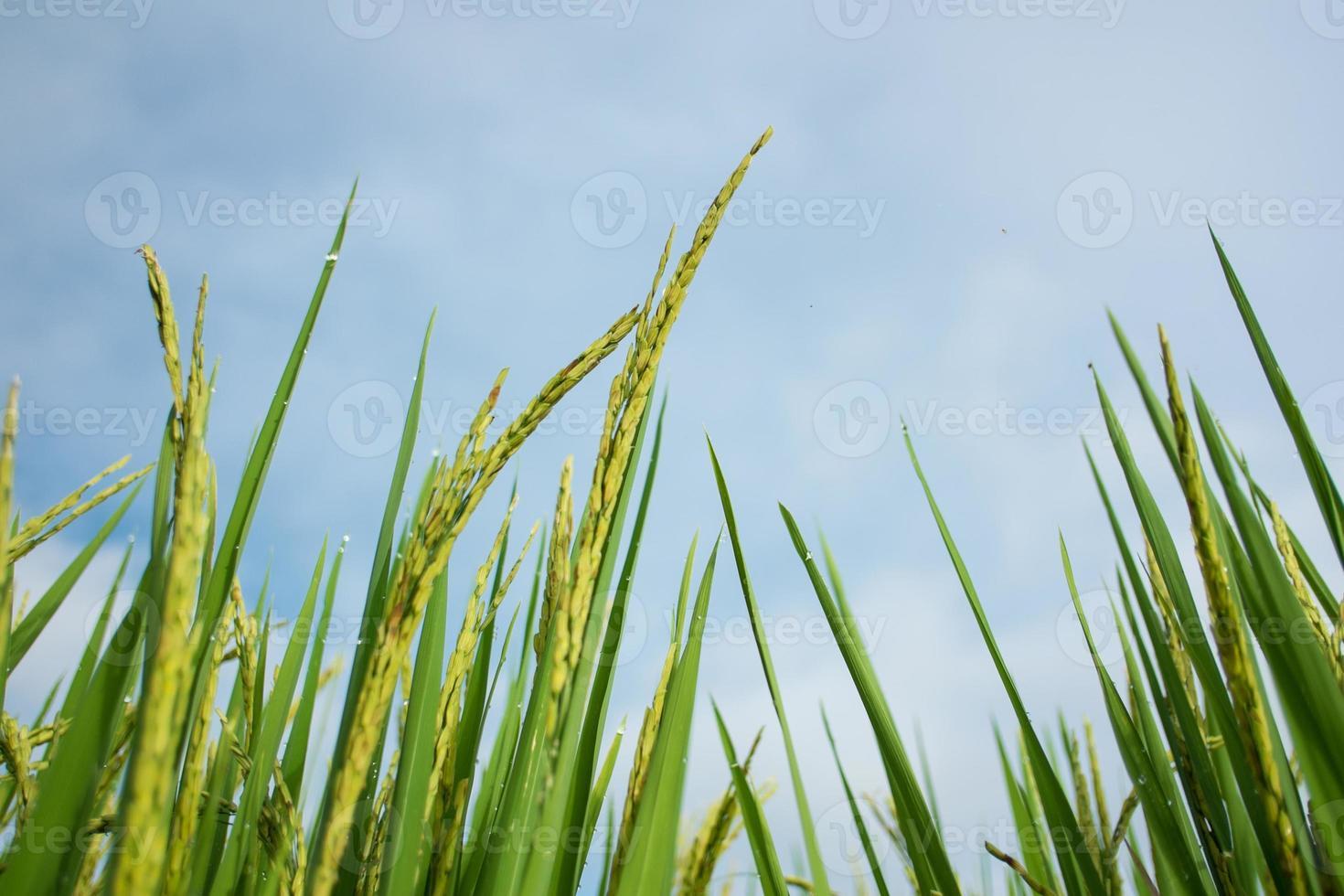 campo di terrazze di riso in campagna a mae chaem, thailandia. foto