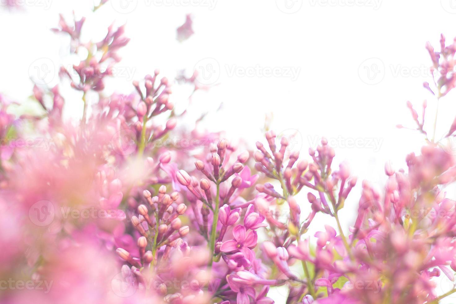 cespuglio di lillà proteso verso il cielo foto