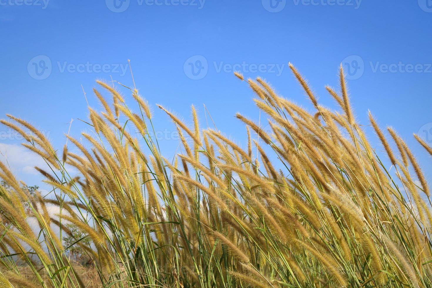 canne d'erba sotto il cielo blu foto