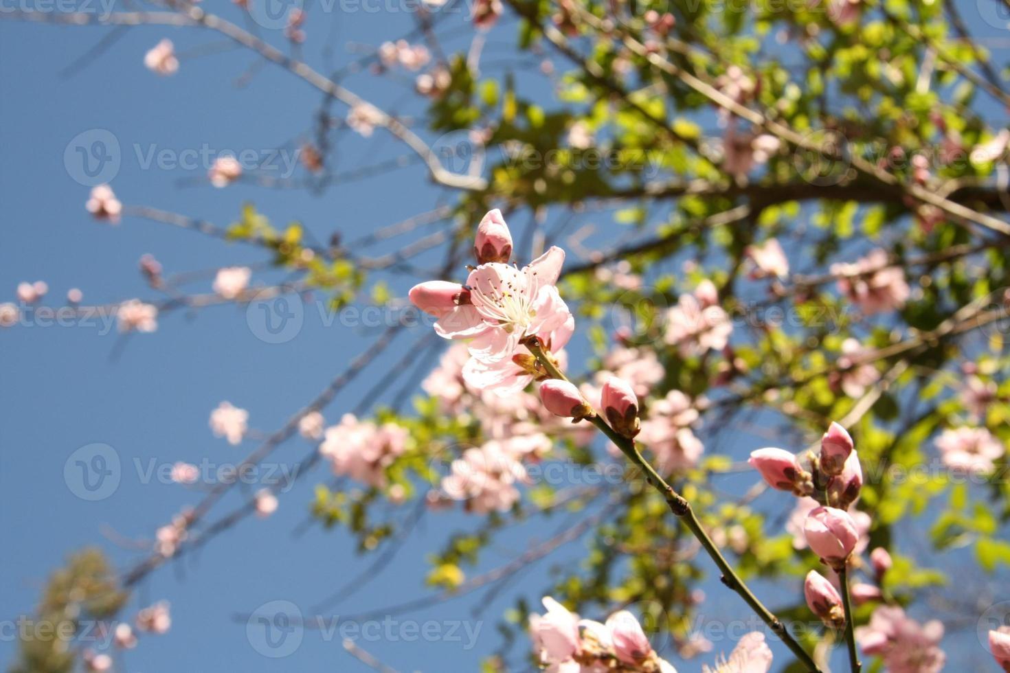 albero di ciliegio in fiore con cielo blu foto