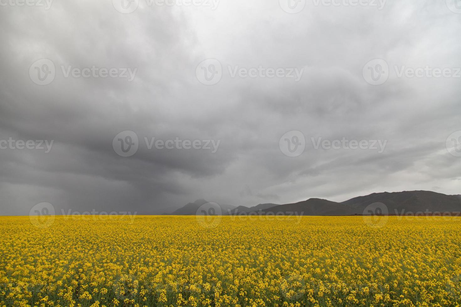 campi di canola sotto un cielo tempestoso foto