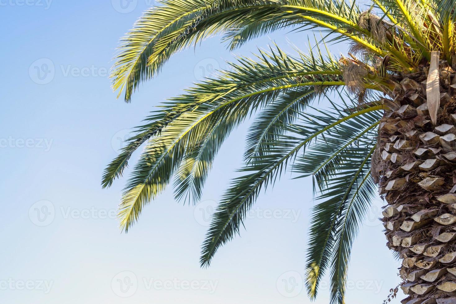 grande palma contro il cielo blu foto