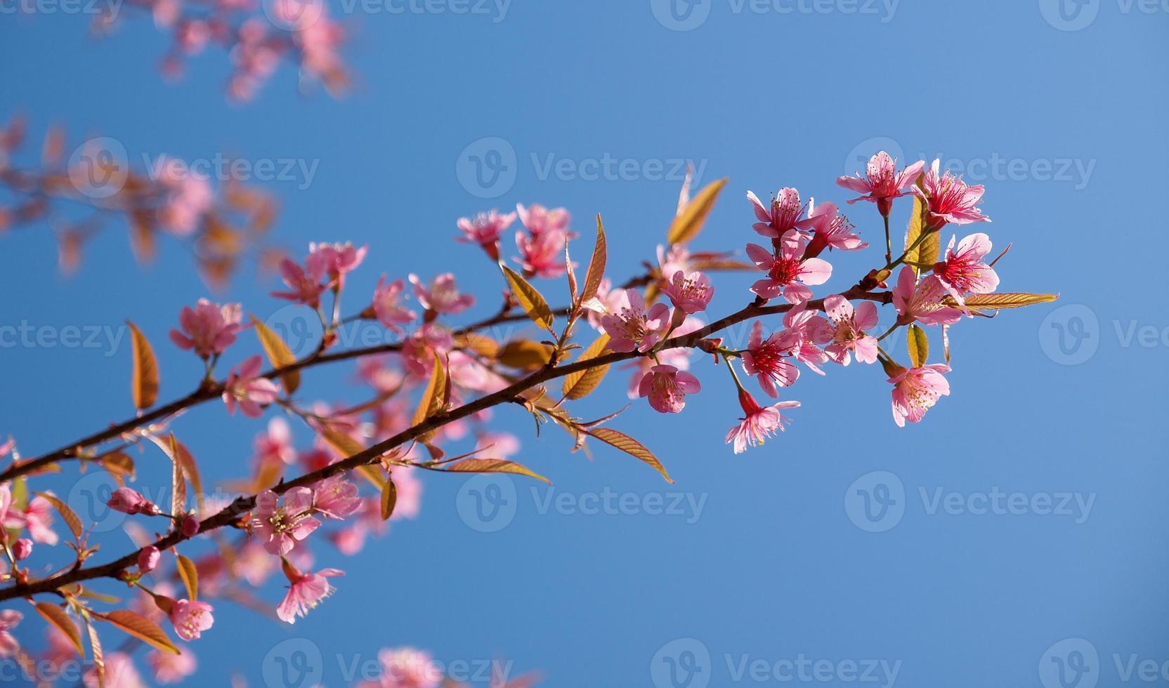 albero di fiori di ciliegio in fiore con cielo sereno foto