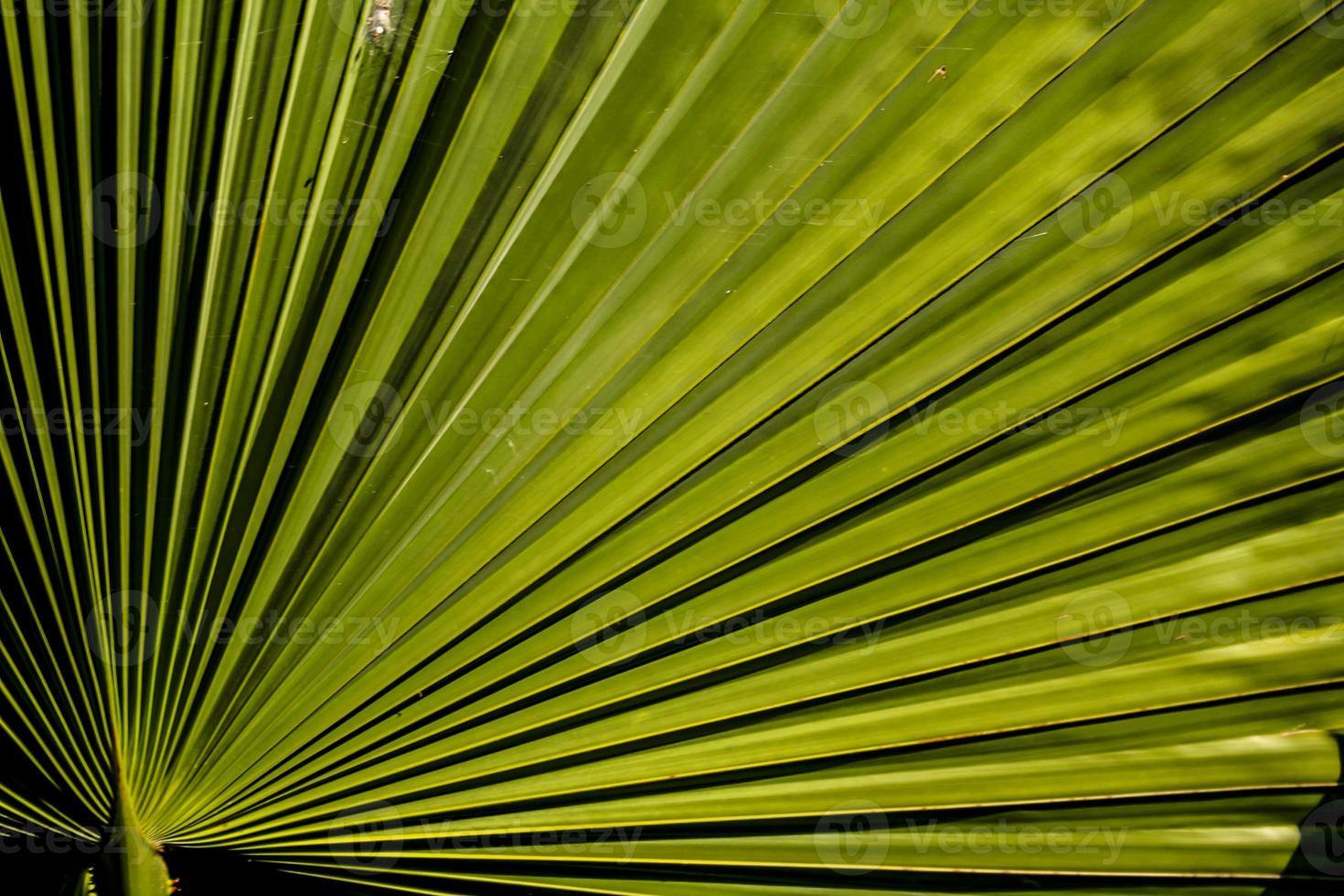 fronda di palma verde foto