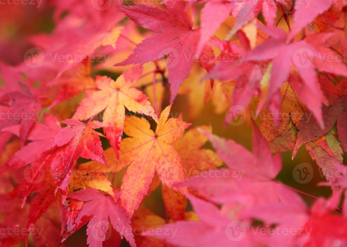 le foglie d'acero gialle e rosse celebrano l'autunno foto