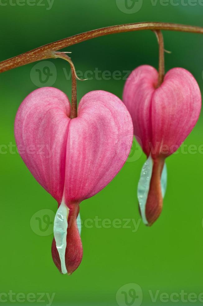 fiore cuore sanguinante foto