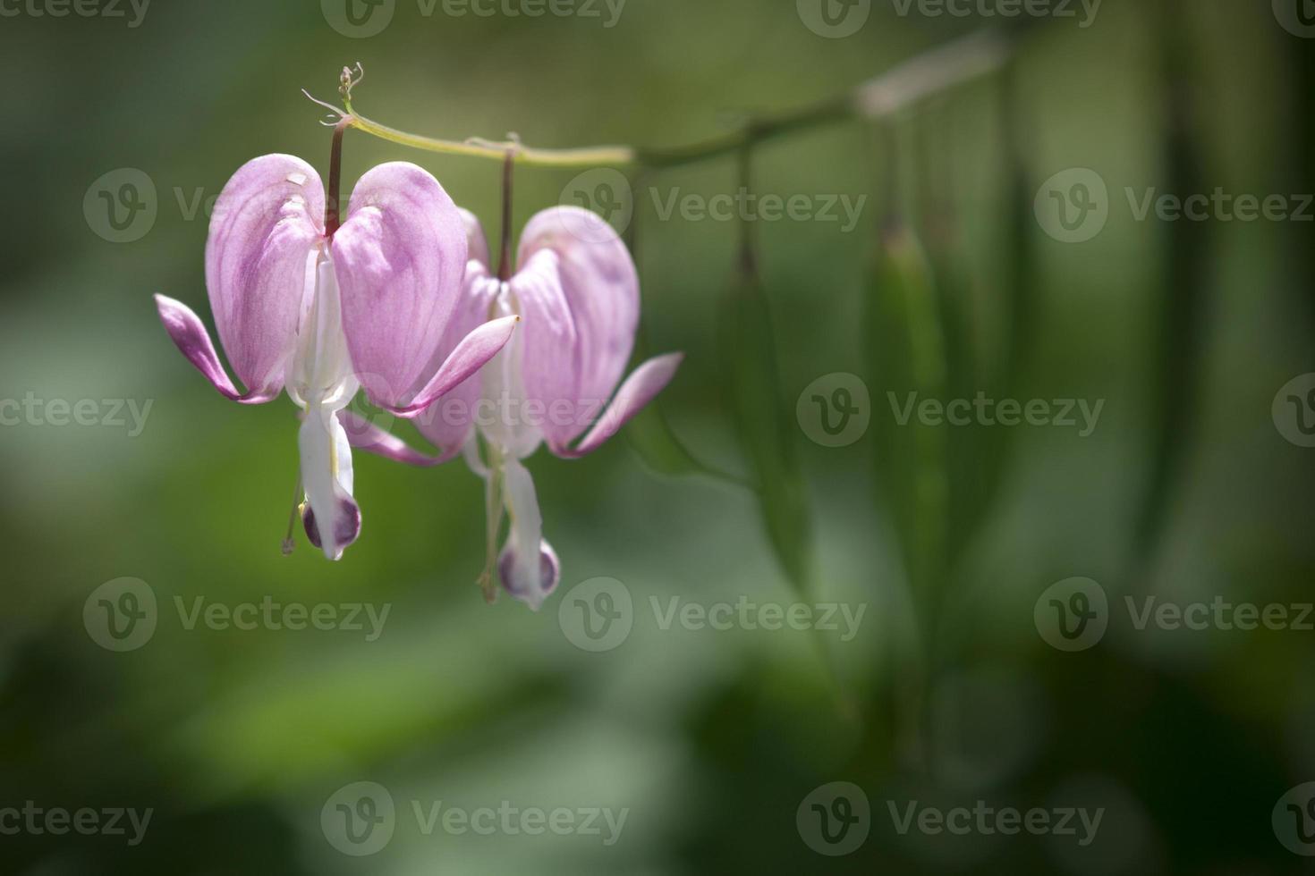 fiori sanguinanti del cuore foto