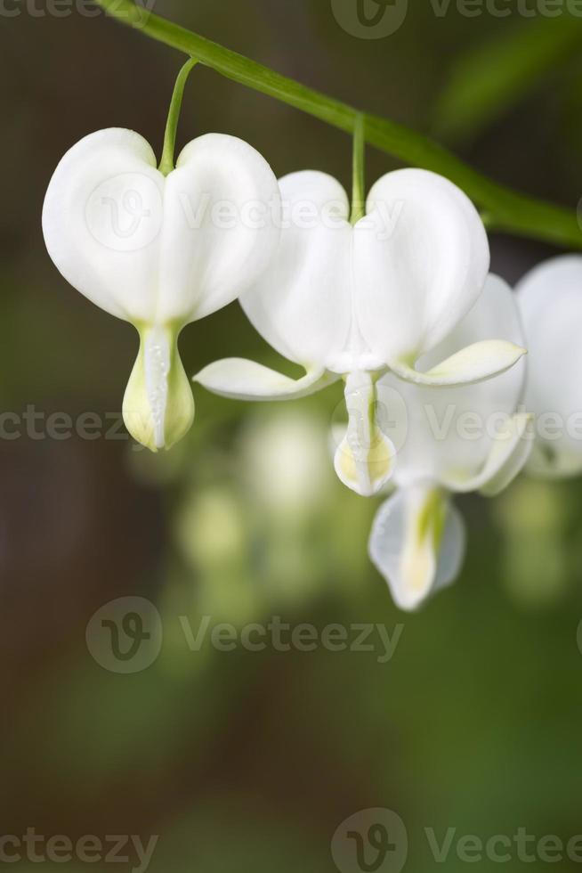 fiori di cuore sanguinante nel giardino foto