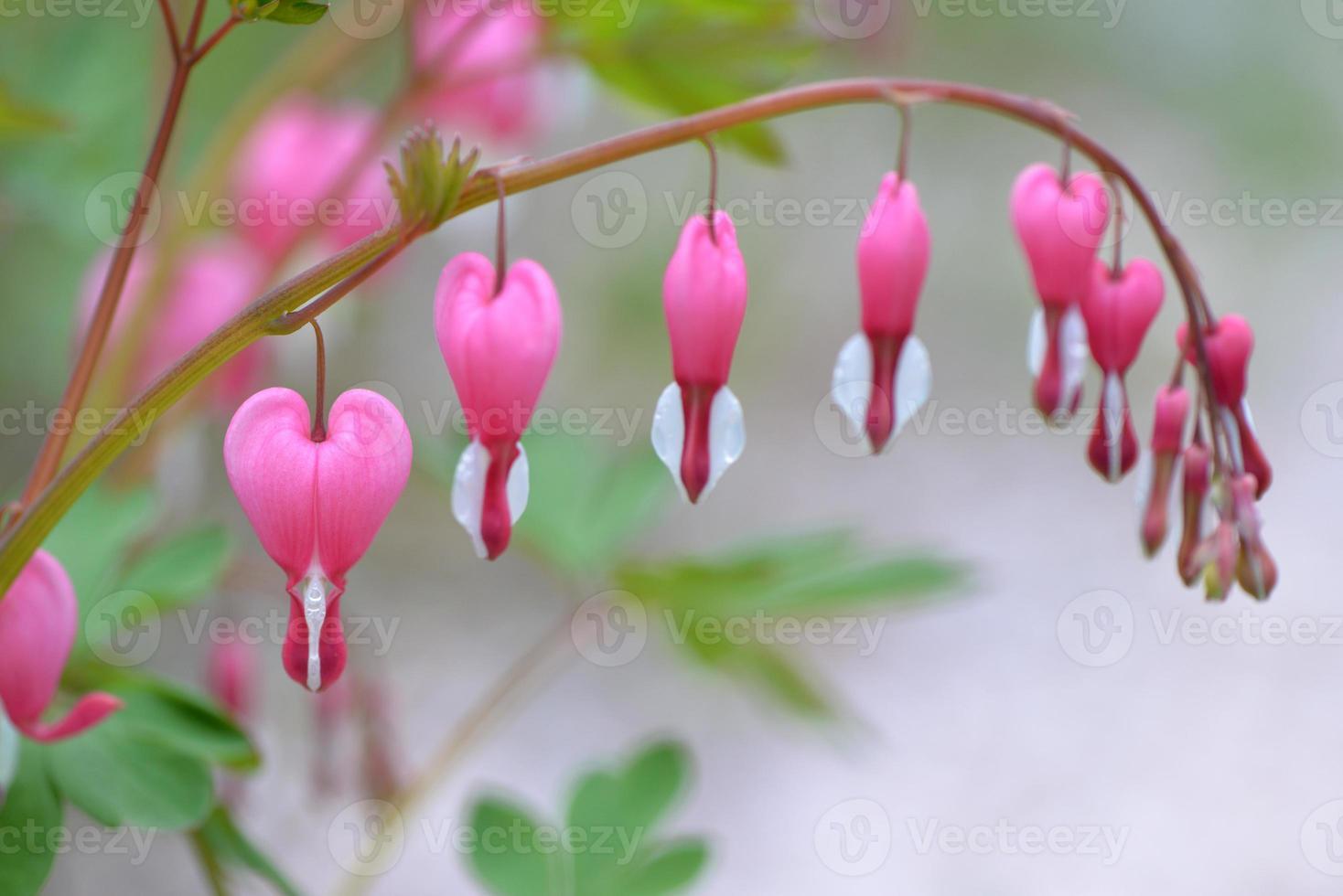 dicentra spectabilis, fiori di cuore foto
