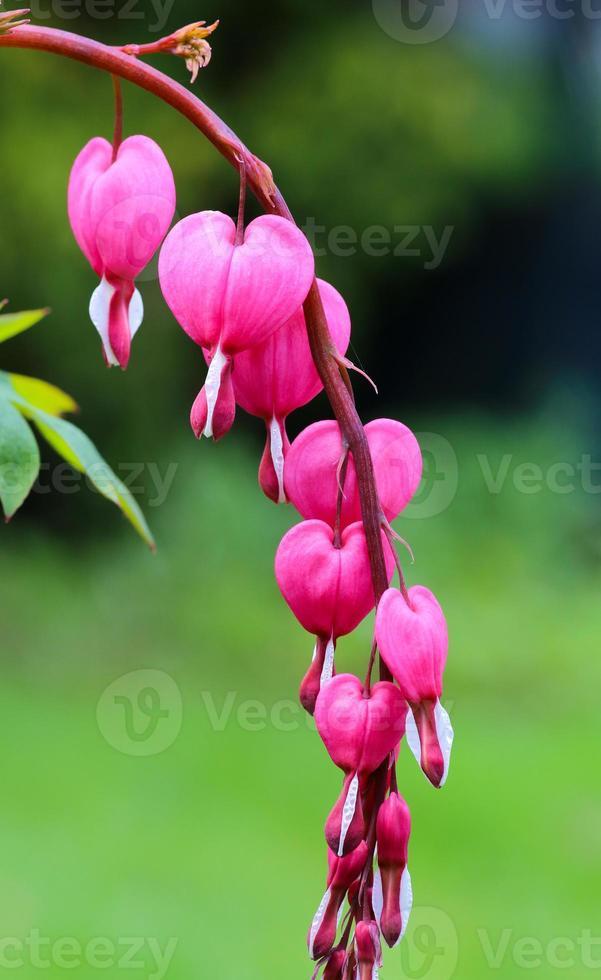 dicentra spectabilis cuori rosa foto