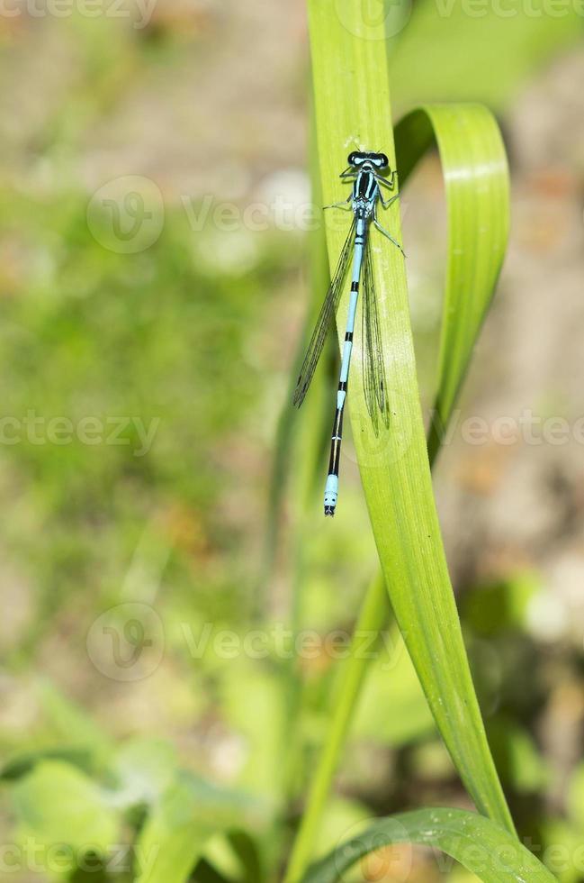 libellula-freccia foto