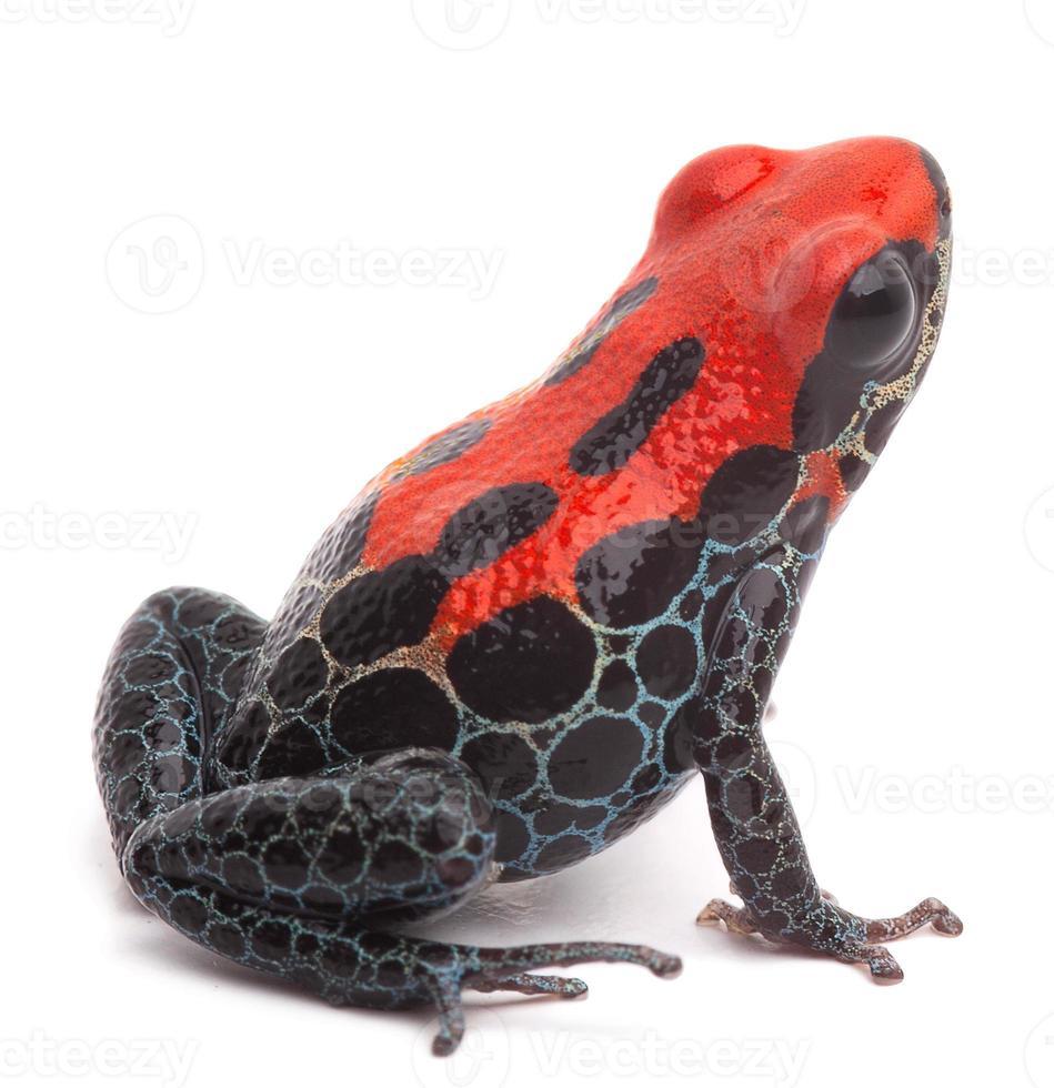 rana rossa del dardo del veleno isolata foto
