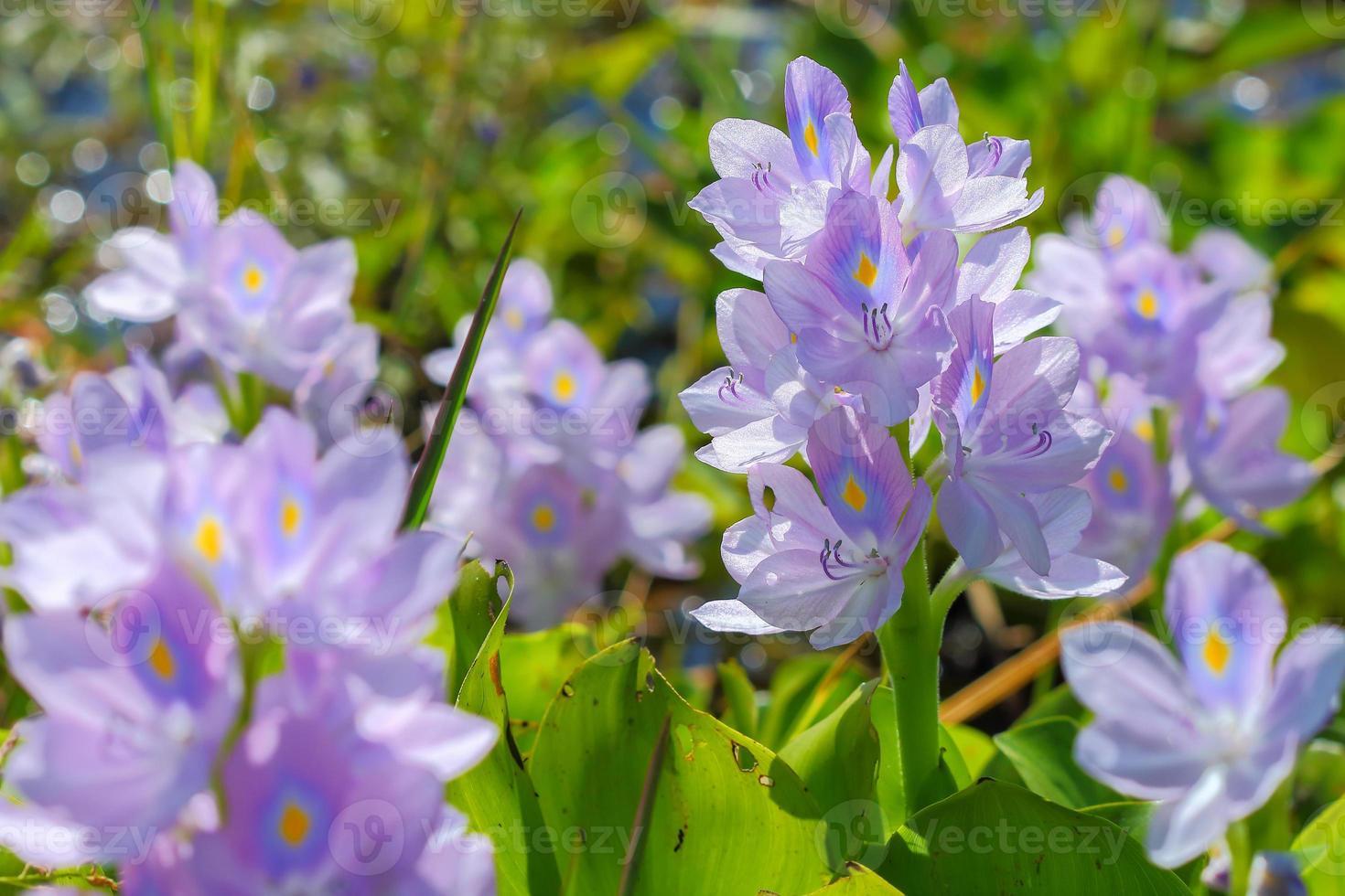fiore di giacinto d'acqua in fonti d'acqua naturali foto