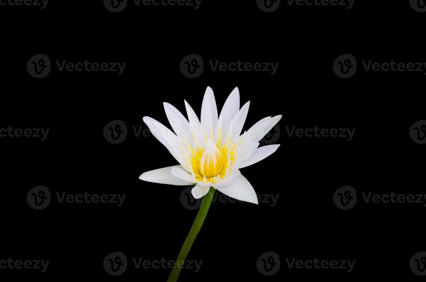 ninfea bianca foto