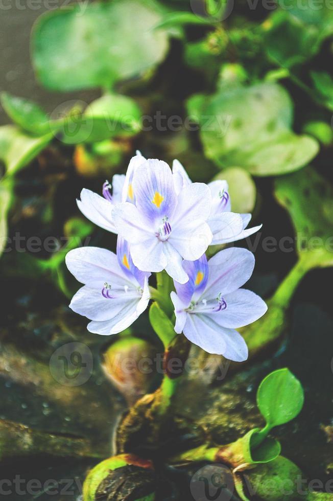 fiore di giacinto d'acqua foto