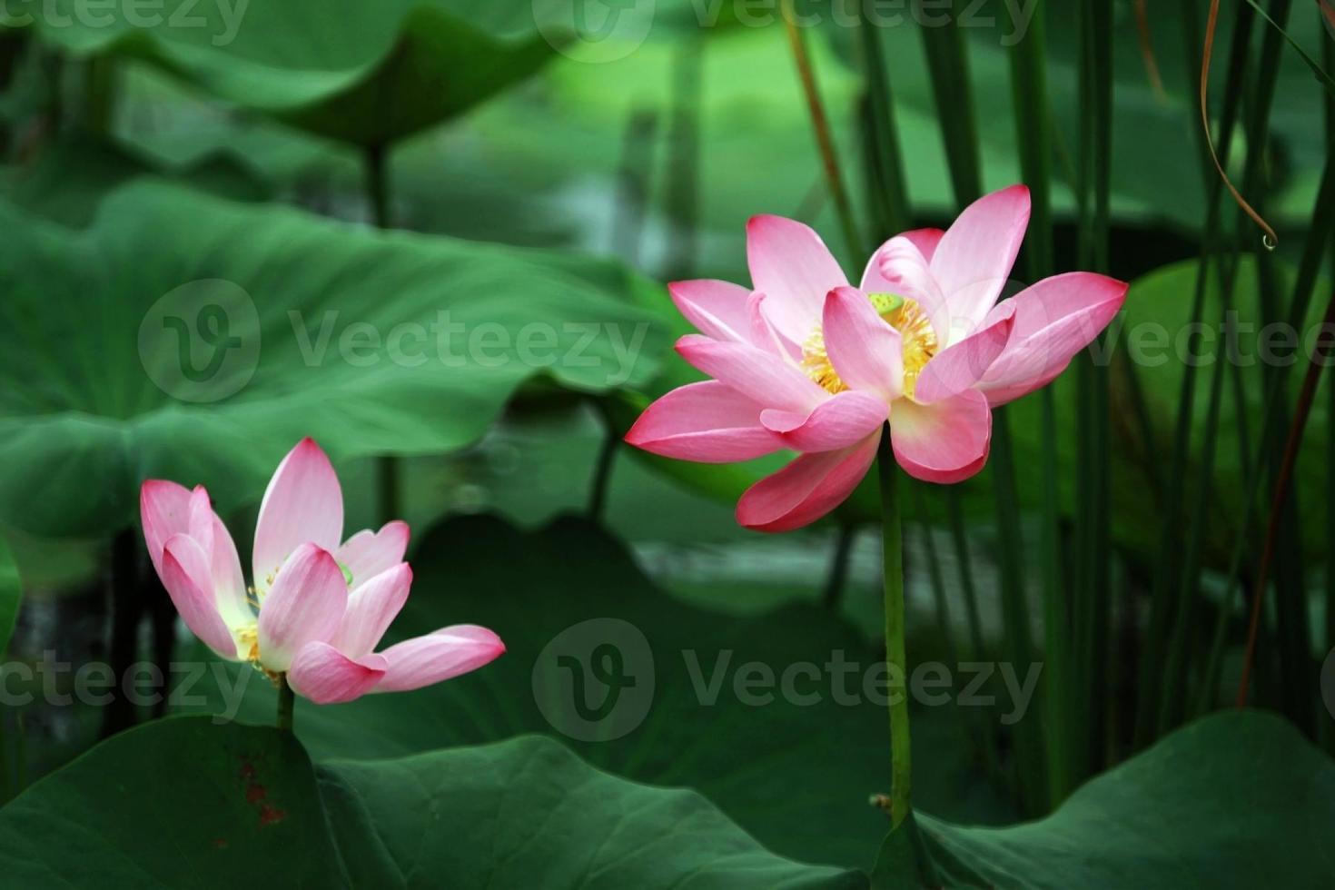 loto mistico (ninfea) foto