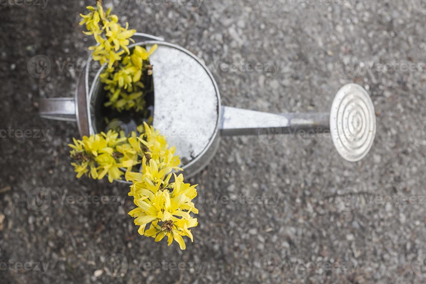 annaffiatoio fiori di forsizia foto