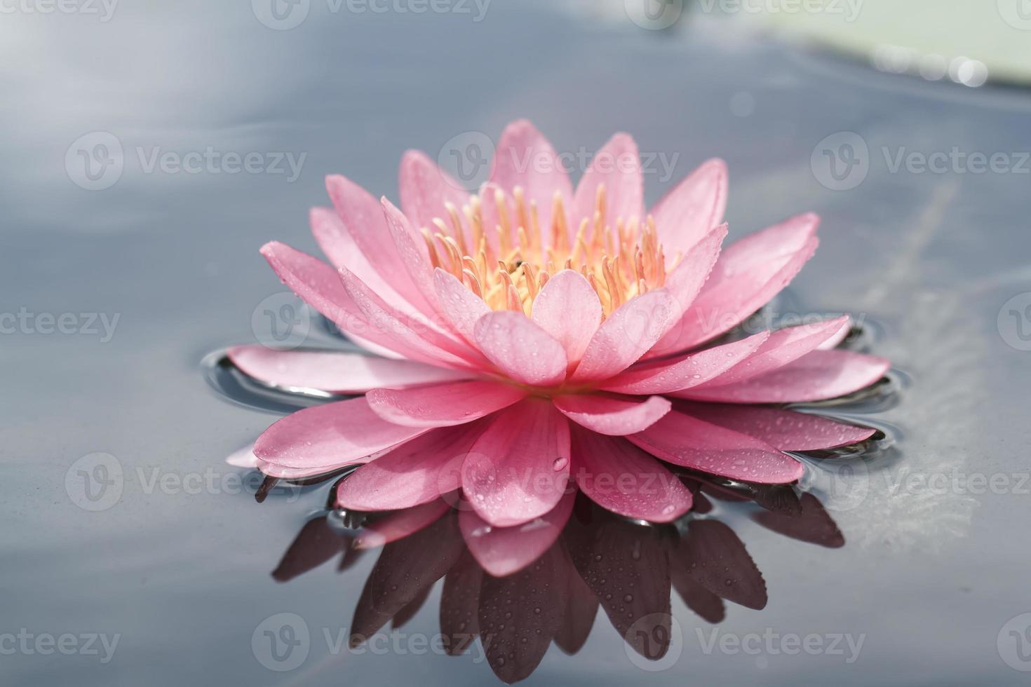 ninfea rosa in stagno foto