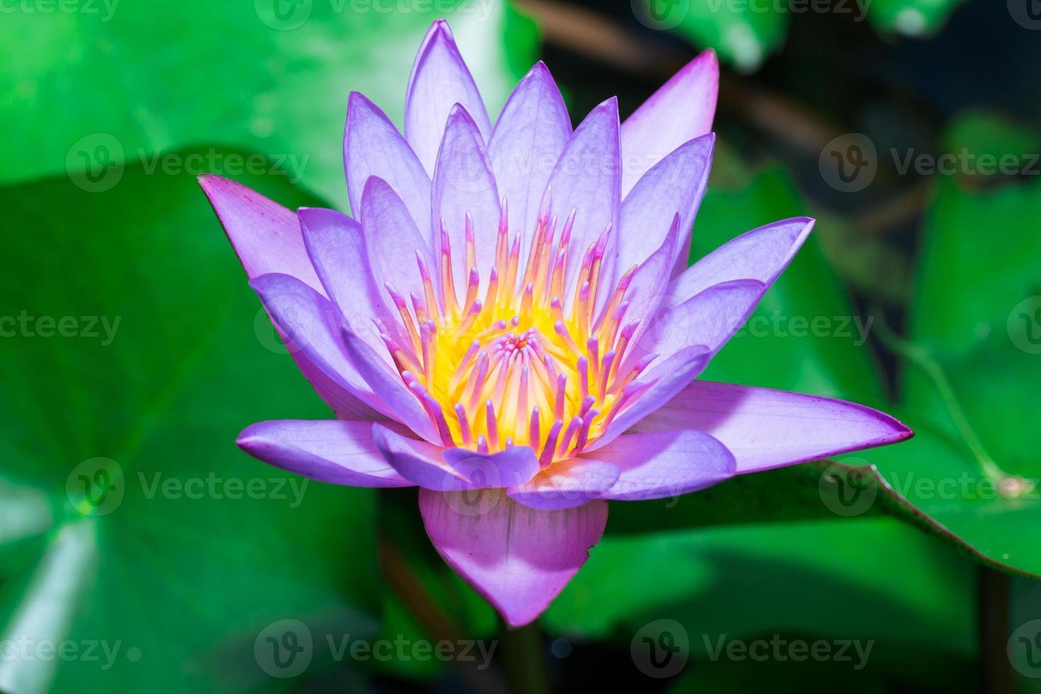primo piano viola del fiore di loto foto