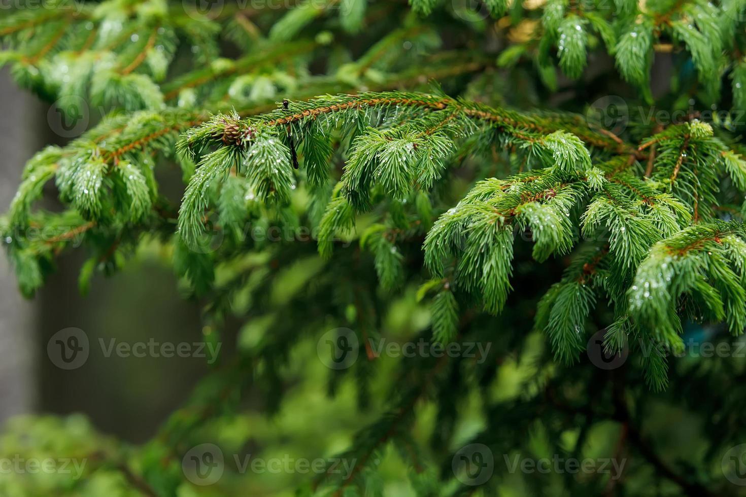 ramo di pino con gocce di pioggia foto