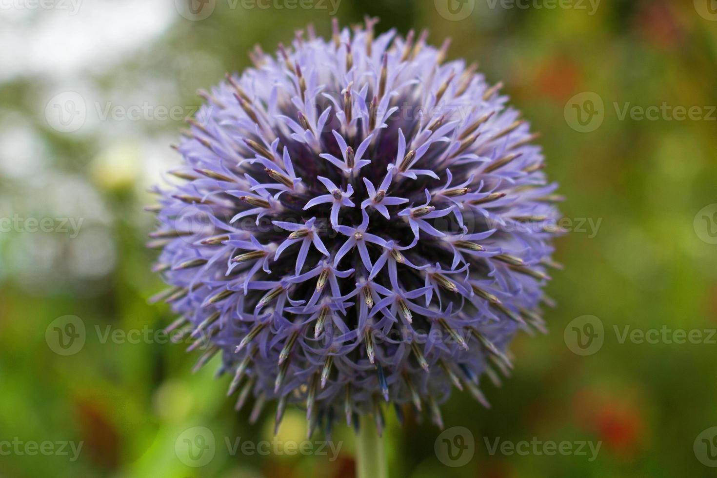 testa di fiore di echinops. foto