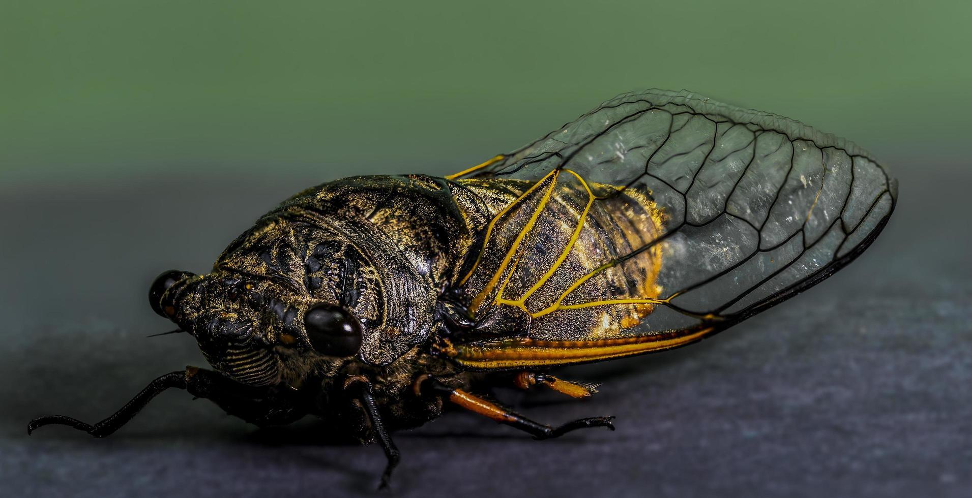 una cicala su sfondo sfocato foto