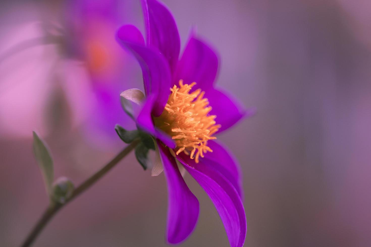 bellissimo fiore viola e giallo foto