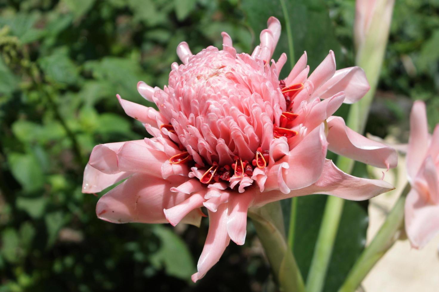rosa etlingera elatior fiore foto