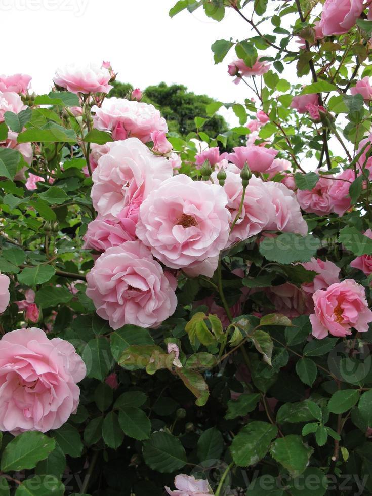 cespuglio di rose in fiore foto