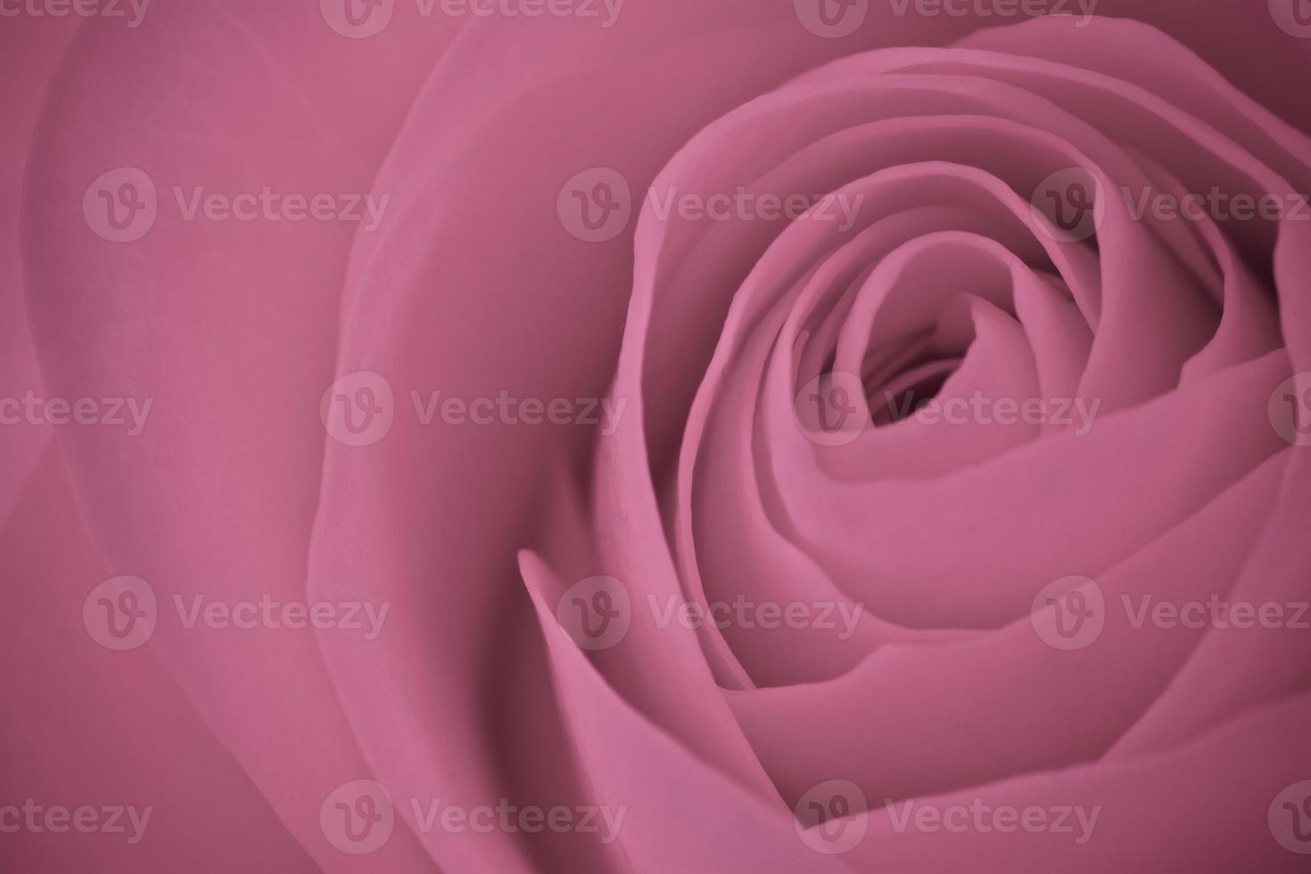 rosa rosa macro foto