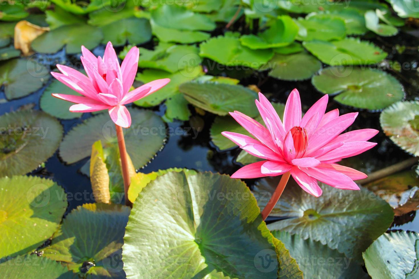 fiori di loto foto