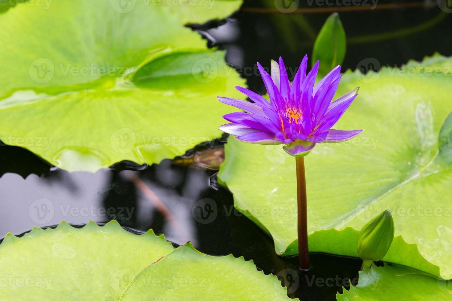 loto viola in stagno foto