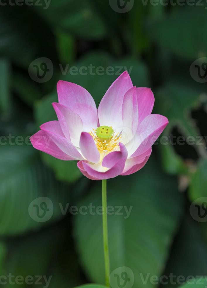 ninfea rosa o fiore di loto foto