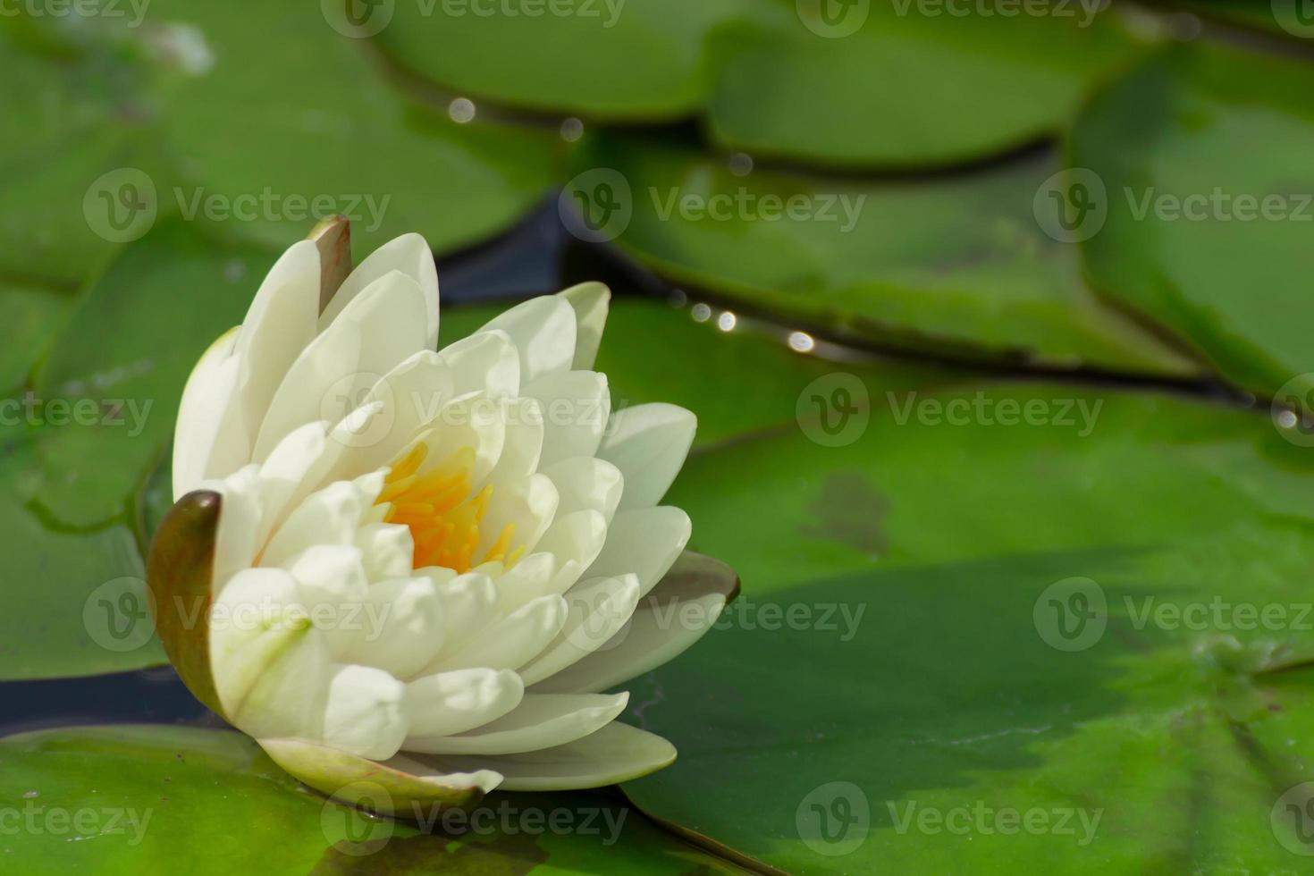 il bellissimo fiore di loto in fiore foto