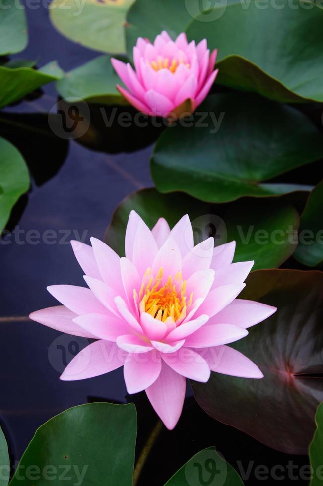 questa bellissima ninfea o fiore di loto foto