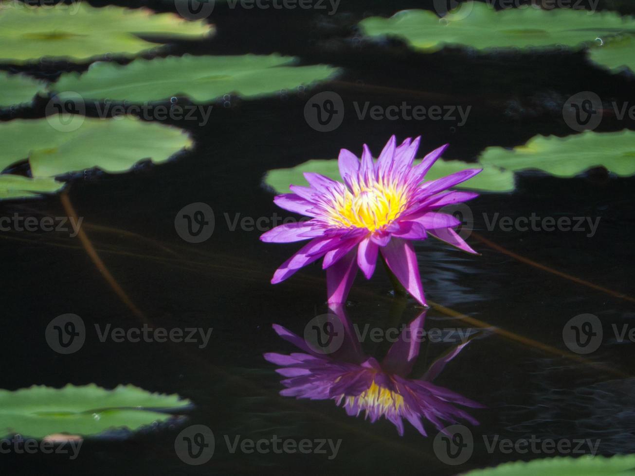 loto giallo-blu fiorisce come la pittura ad olio. foto