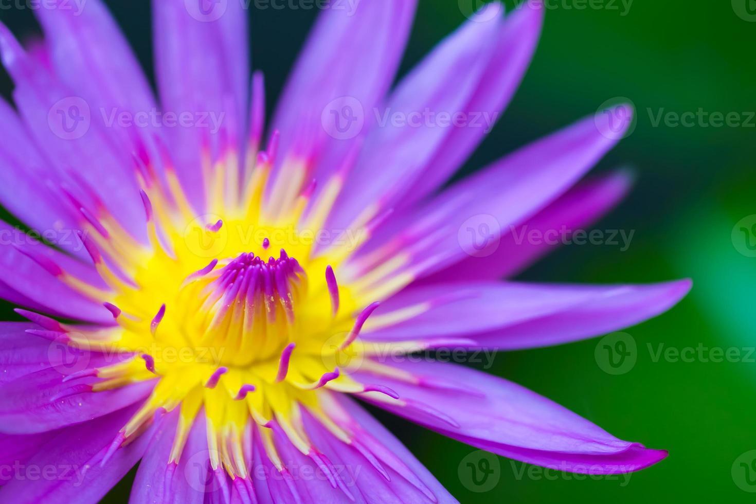 macro giallo viola e rosa colpo di loto closeup foto