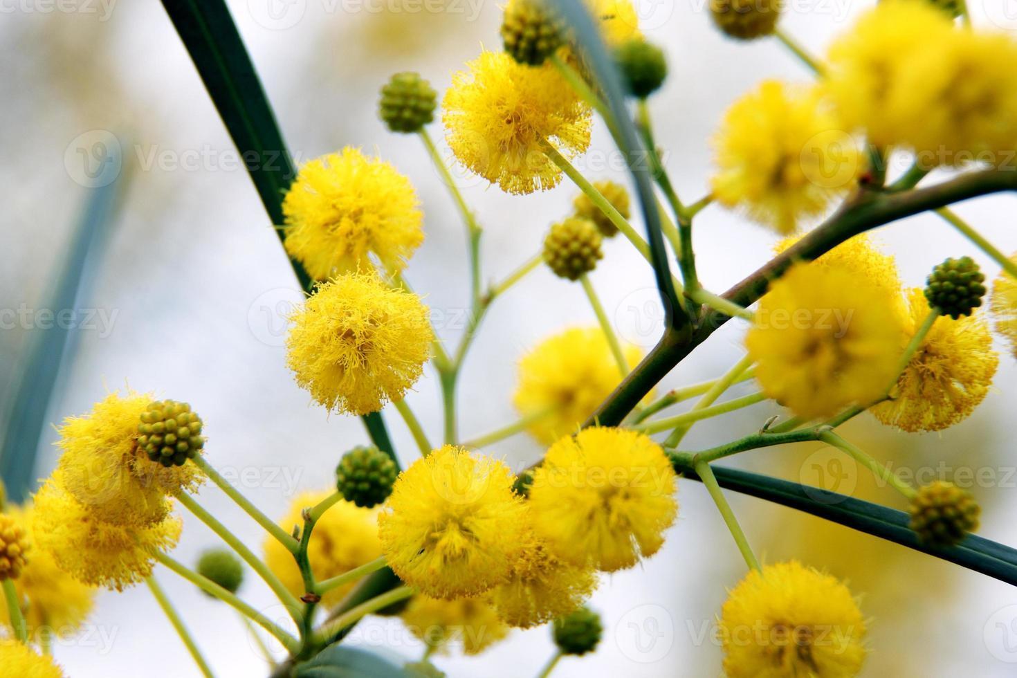 primo piano di alberi di acacia gialla (mimosa) sulla natura foto