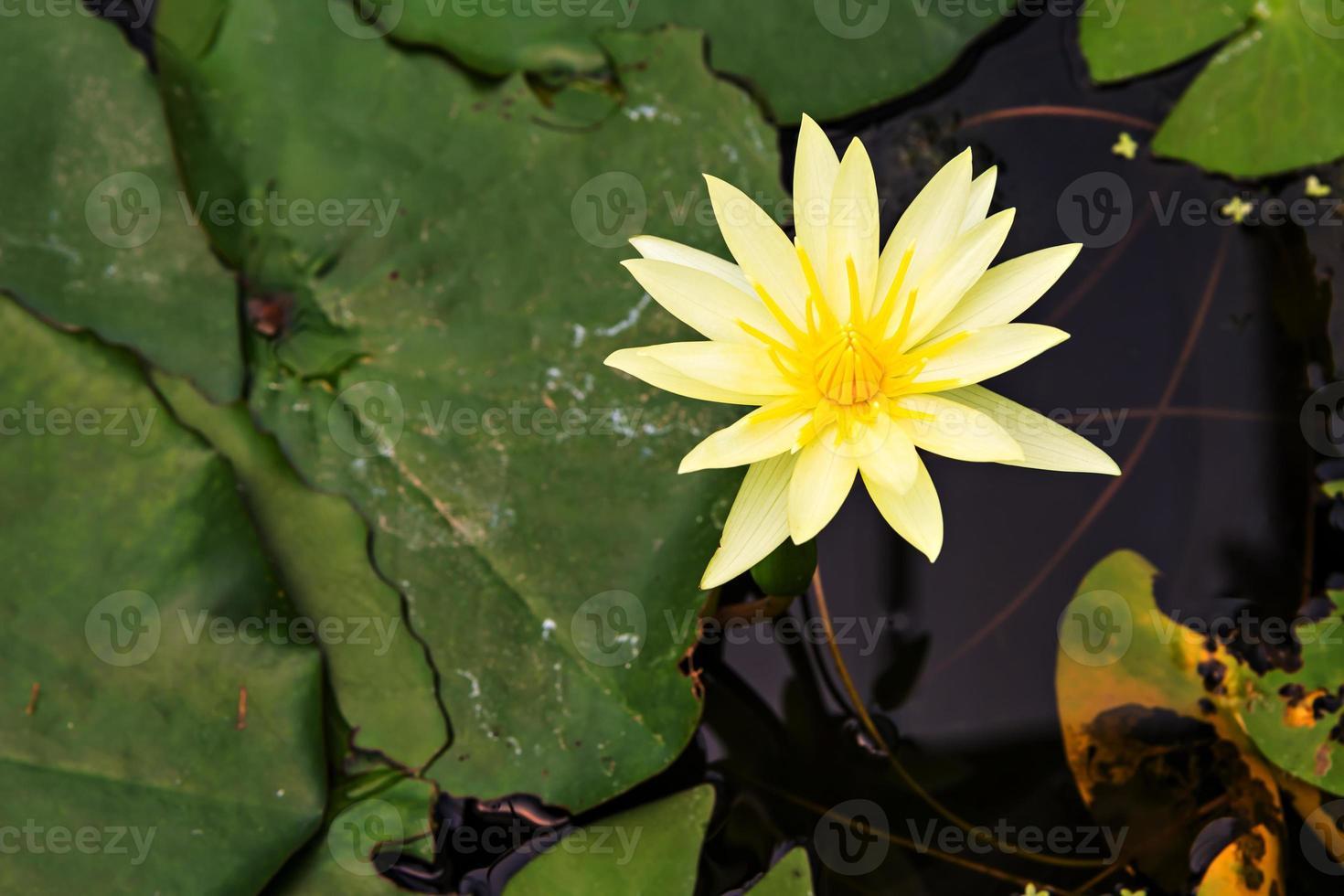bellissimo loto giallo foto