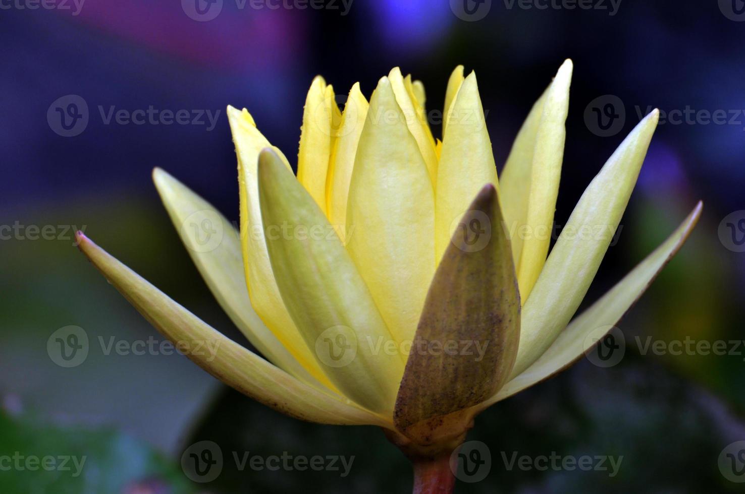 fiore giallo ninfea foto